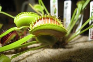 Смартфон может управлять растениями: инженеры превратили Венерину мухоловку в «биоробота»