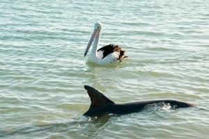 Вопреки природе – в Австралии подружились дельфин и пеликан (видео)