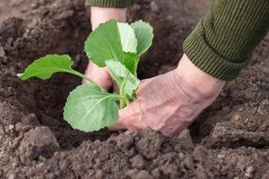 В конце марта сеем цветную капусту: как правильно это делать, чтобы урожай порадовал