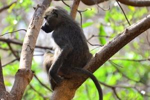 Неожиданное исследование: обезьяны из зоопарка предпочитают городские звуки природным