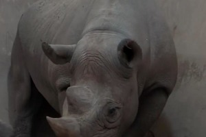 В британском зоопарке показали новорожденного носорога: фото детеныша