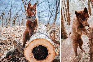 Девушка поделилась фото своего щенка - хаски редкого, коричневого окраса