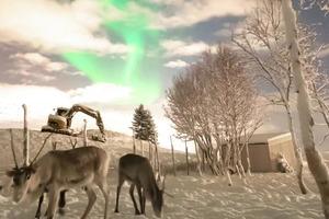В Норвегии сняли оленей, пасущихся на фоне северного сияния (видео)