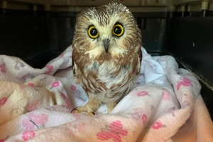 Крошечная сова, найденная в ветвях рождественской елки Рокфеллера в Нью-Йорке, была выпущена в дикую природу: видео