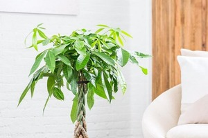 Бутылочное дерево - растение богатства и успеха. Посадила дома пахиру - цветок, который никому нельзя дарить