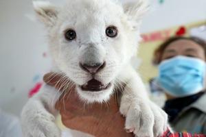 Четверо львят редкого белого окраса, родившиеся в китайском сафари-парке, готовятся к публичному дебюту (фото)