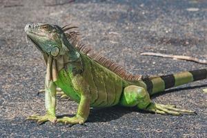 Падение ящериц с деревьев: в США игуаны начинают входить в анабиоз