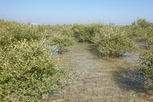 Новое исследование показало, что именно изменение климата вызвало исчезновение мангровых лесов в Омане