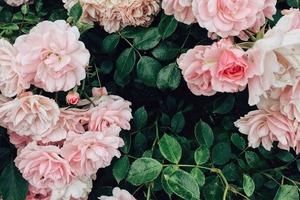 Для приготовления розовой воды розу надо тушить 20-30 минут. Как использовать лепестки роз для кожи
