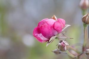 В Санкт-Петербурге распустились розы в разгар зимы: их заметили в Парке 300-летия