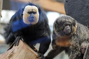 Некоторые обезьяны в зоопарках предпочитают звуки уличного движения естественному шуму джунглей