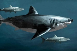 Больше человека. Детеныши мегалодона, жившего примерно от 15 до 3,6 млн лет назад, рождались двухметровыми