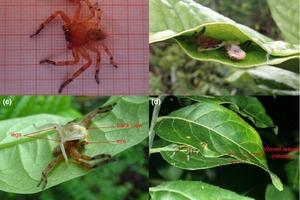 Исследователи обнаружили, что паук-охотник из больших листьев создал ловушку для древесных лягушек