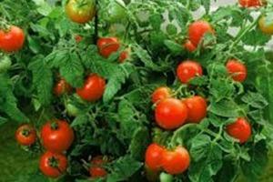 Соседка научила меня не подвязывать помидоры. Последние 5 лет я собираю в два раза больше урожая