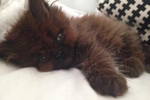 Девочка подобрала на улице маленького котенка, назвав его Домовенком, и он вырос настоящим красавцем
