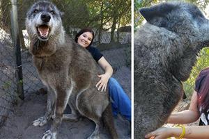 Хозяин бросил своего гигантского волкодава, отдав его на усыпление, но в дело вмешались волонтеры