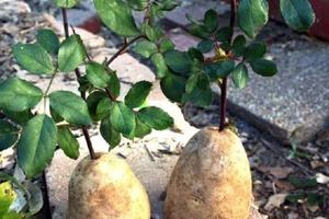 Что будет, если воткнуть розу в картошку? Садовод поделился простым лайфхаком