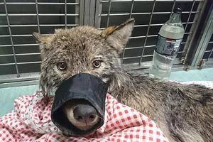 В Эстонии мужчины вытащили из ледяной воды волка, ошибочно приняв его за собаку