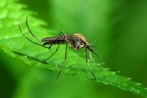 5 запахов, которые не выносят комары, и 5 вещей, которые им нравятся