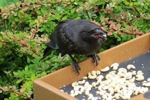 Добро возвращается: девочка кормит ворон, а они взамен приносят ей презенты
