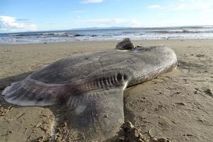 Ускользавшая от исследователей десятки лет рыба-гигант была найдена в Калифорнии