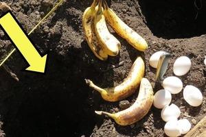 На даче я увидела, как соседка закапывает в землю яйцо и банан: я удивилась, но теперь тоже так делаю