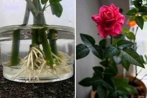 Соседка показала, как укоренить розу из подаренного букета. Теперь у меня дома целый розарий