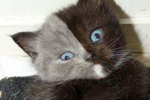 В 2017 году родился «двуликий» котик. Он вырос и стал одним из самых красивых котов в мире