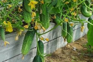 С помощью крапивы я увеличиваю урожай огурцов в 5 раз: делюсь рецептом удобрения