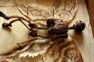 Феи и драконы. В старом особняке найдены останки странных существ и выставлены в музее криптидов
