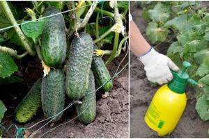 Для тех, кто любит большой урожай огурцов: эффективная методика удобрения кустов