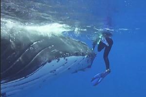 25-тонный кит спасает дайвершу от акулы, спрятав ее под плавником (видео)