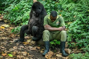 Горилла поняла, что у смотрителя зоопарка плохой день, и помогла ему