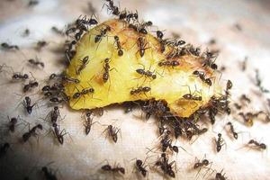 В моем доме нет муравьев. Если вдруг они появляются, я мигом вывожу их