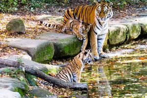 Загадка для самых внимательных: сколько тигров на картинке