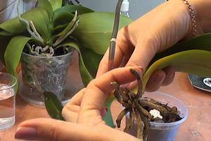 Соседка научила, как быстро реанимировать орхидею. Теперь у меня их 11 штук