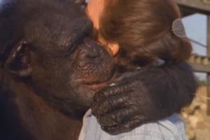 Спустя 18 лет разлуки шимпанзе узнали спасительницу: кадры трогательной встречи