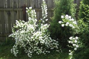 Кустарники, которые красиво цветут все лето