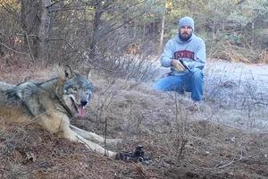 Человек не побоялся и освободил дикого волка, угодившего в капкан. Умный зверь не сопротивлялся