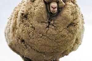 Овца, которую не стригли 6 лет и другие кадры, которые стоит увидеть