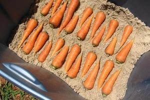 Соседка показала, как она хранит морковь. Теперь я всегда так делаю
