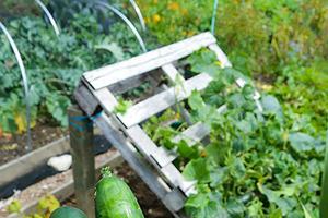 Надоело мастерить теплицы, поэтому выращиваю огурцы на поддонах: никаких трат, а главное, урожай собирать в разы удобнее