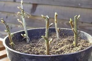 Нужны свои саженцы смородины весной? Пошаговая инструкция