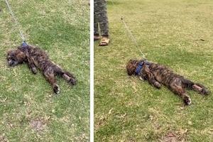 Я еще не нагулялся: пес наотрез отказался идти домой с прогулки в парке (смешное видео)