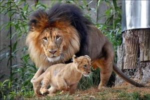 Маленький львенок заигрался и укусил отца за хвост. Лев хотел научить сына манерам, но тут вмешалась львица (фото)