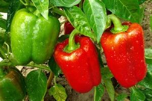 """Я всегда делаю """"горячую высадку"""" перца: моему урожаю завидуют все соседи"""