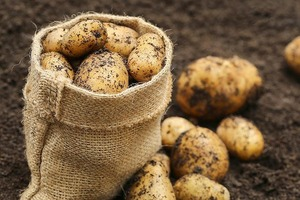 Как посадить картошку, чтобы с одного куста собрать целый мешок: 2-ярусный метод