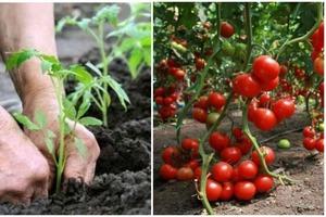 За сутки до высадки помидоров готовлю дрожжевое удобрение: летом моему урожаю завидуют все соседи