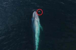 Огромный синий кит чихнул, когда дрон пролетал прямо над ним: видео и фото