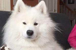 Хозяйка отвела своего пушистого пса на стрижку, но грумер немного перестарался: как самоед стал выглядеть без шерсти